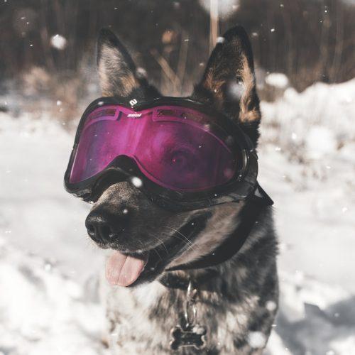 een hond met een sneeuwbril